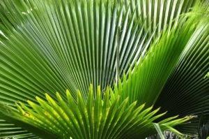 Saw Palmetto - strom