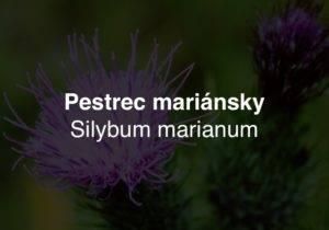 Pestrec mariánsky - Silybum marianum