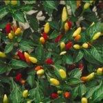 Capsicum frutescens – paprika krovitá
