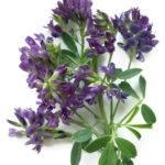 Lucerna siata - alfalfa