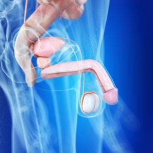 Penis sa z jednej tretiny schováva v brušnej dutine