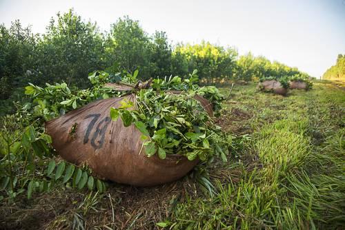 plantáž s yerba maté