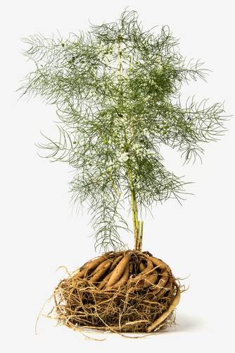 Shatawari - rastlinné tonikum pre každú ženu