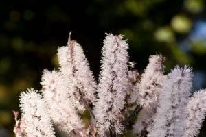 Ploštičník strapcovitý - Cimicifuga racemosa