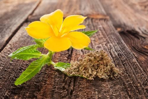 Damiána - rastlina