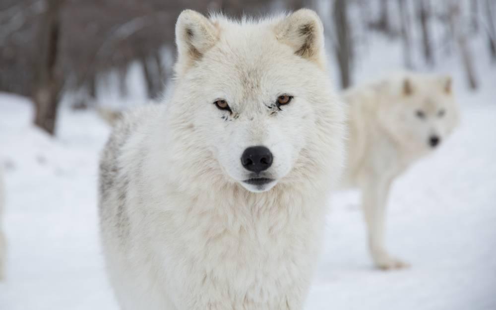alfa samec vlk