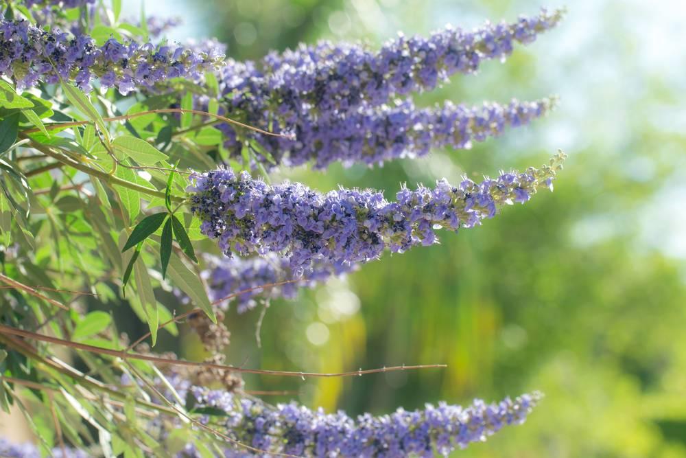 Vitex jahňací - rastlina, kvet