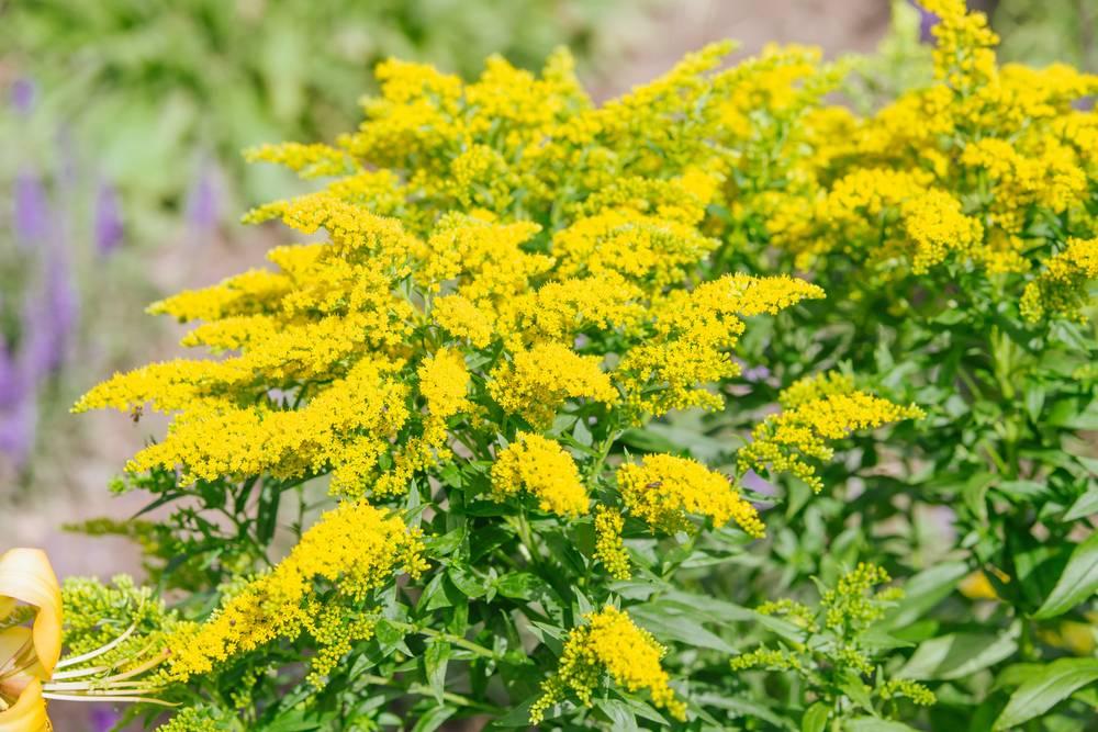 Zlatobyľ obyčajná - rastlina