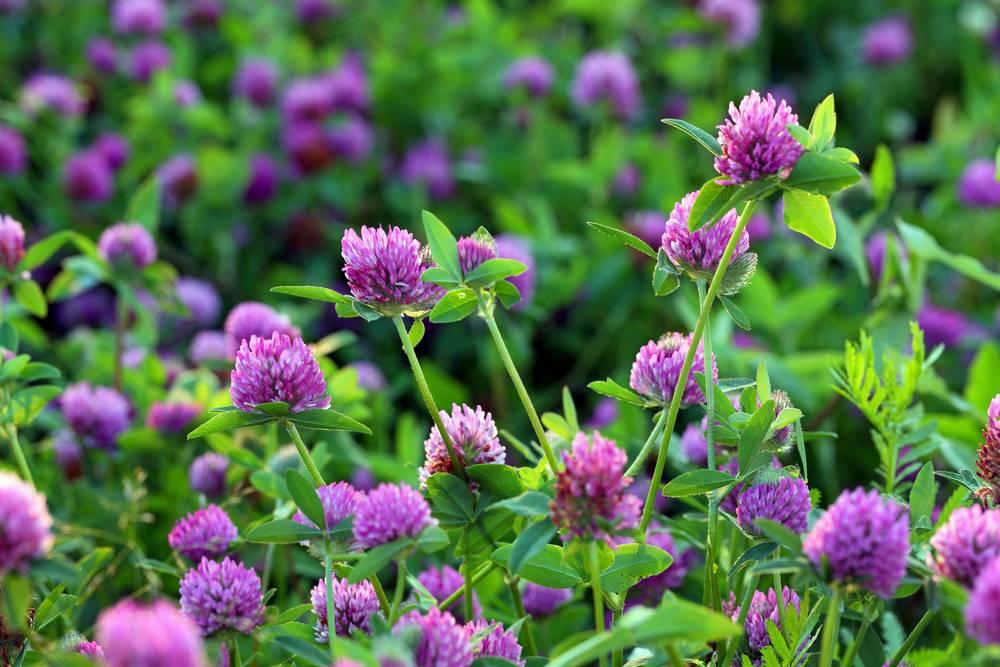 Trifolium pratense - ďatelina lúčna