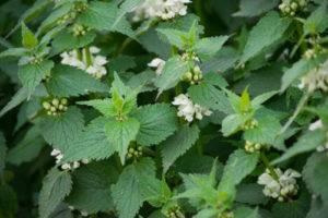 Pŕhľava dvojdomá - rastlina, kvet