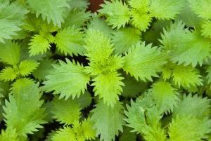 Pŕhľava malá - rastlina