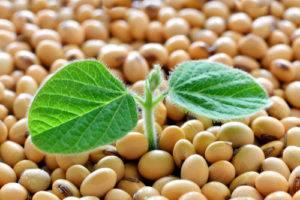 Sója fazuľová - rastlina, semeno