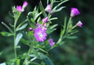 Vŕbovka malokvetá - kvet, rastlina