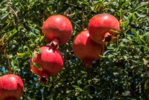 Granátovník obyčajný - rastlina, plody