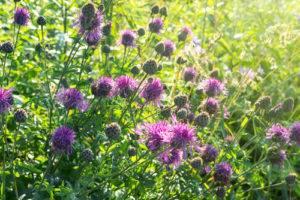 Leuzea šuštivá - rastlina, kvet
