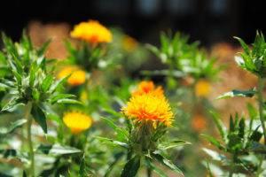 Požlt farbiarsky - rastlina, kvet