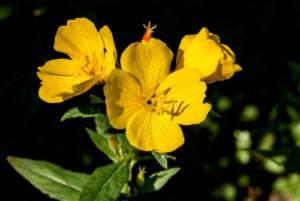 Pupalka dvojročná - rastlina, kvet